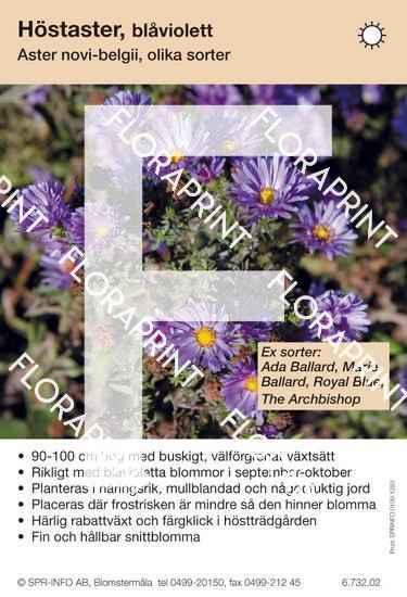 Aster novi-belgii (blåviolett) sorter: