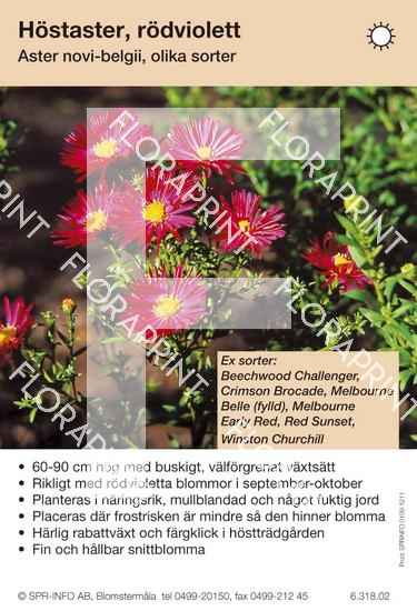 Aster novi-belgii (rödviolett) sorter: