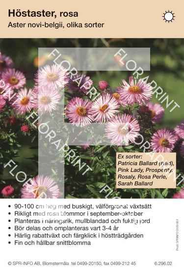 Aster novi-belgii (rosa) sorter: