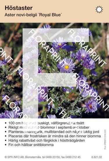 Aster novi-belgii Royal Blue