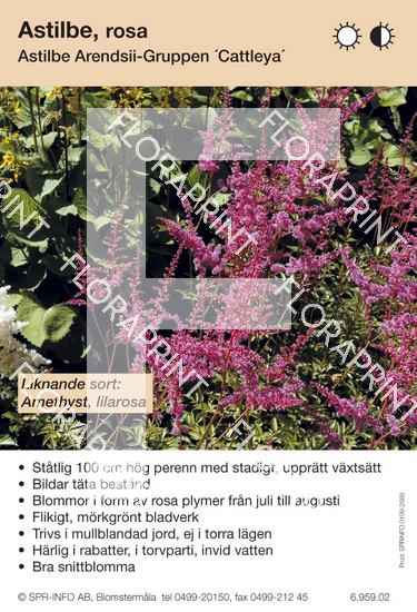 Astilbe arendsii Cattleya