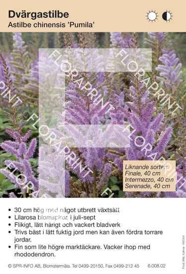 Astilbe chinensis Pumila (sorter:)