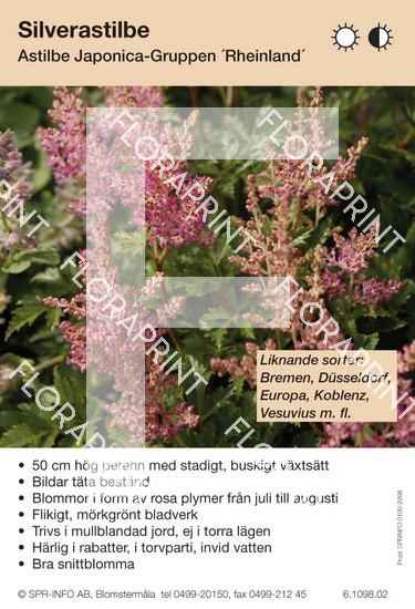 Astilbe japonica Rheinland