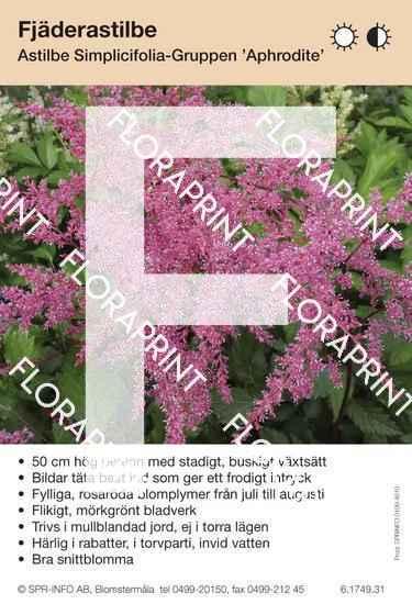 Astilbe simplicifolia Aphrodite