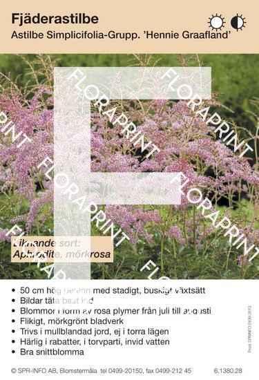 Astilbe simplicifolia Hennie Graafland