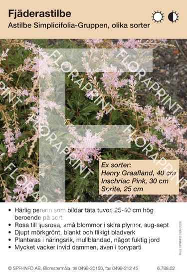 Astilbe simplicifolia