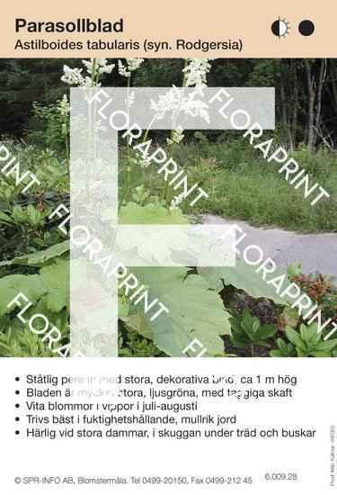Astilboides tabularis (Rodgersia)