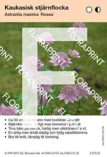 Astrantia maxima Rosea