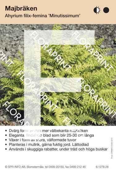 Athyrium filix-femina Minutissimum