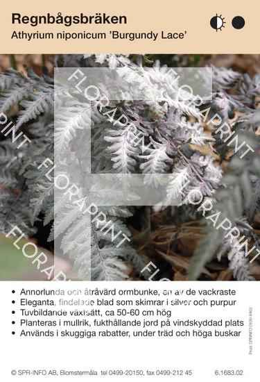 Athyrium niponicum Burgundy Laze