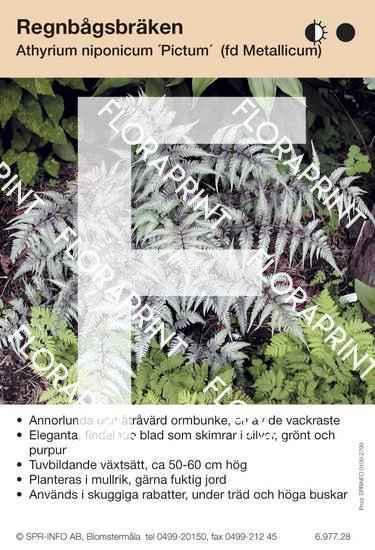 Athyrium niponicum Pictum (fd Metallicum)