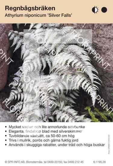 Athyrium niponicum Silver Falls