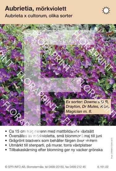 Aubrieta cultorum allm mörkviolett (sorter:)