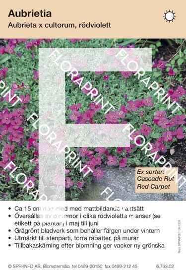 Aubrieta cultorum allm rödviolett (sorter:)