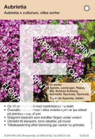 Aubrieta cultorum allm violett (sorter:)
