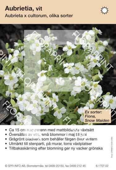 Aubrieta cultorum allm vit (sorter:)