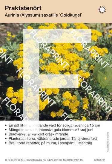 Aurinia (fd Alyssum) saxatilis Goldkugel