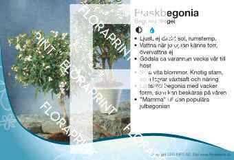 Begonia dregei