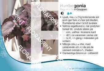 Begonia Rex-Gruppen