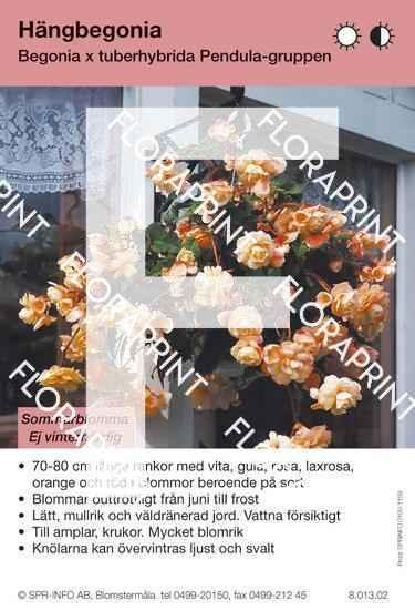Begonia tuberhybrida Pendula-Grp