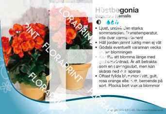 Begonia x hiemalis