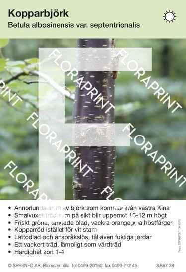 Betula albosin. v. septentrionalis