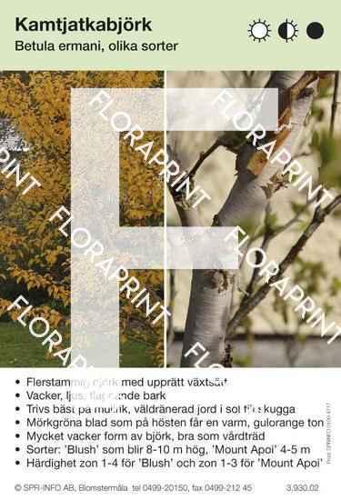 Betula ermani