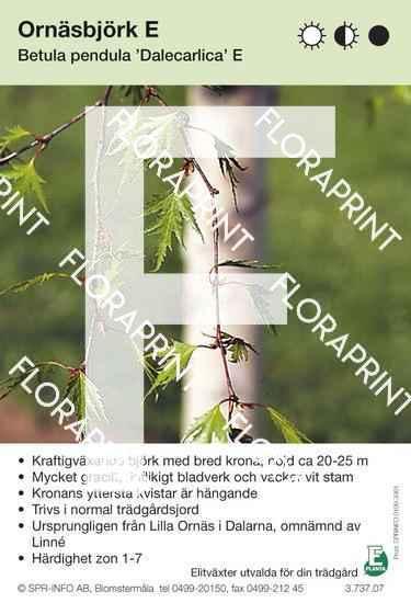 Betula pendula Dalecarlica E