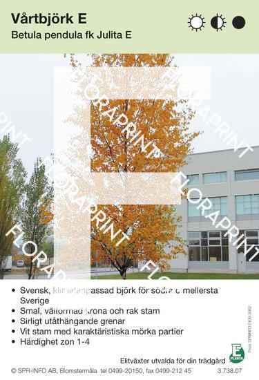 Betula pendula fk Julita E