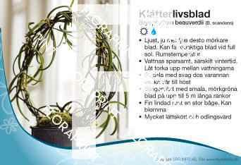 Bryophyllum beauverdii