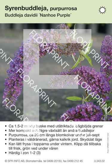 Buddleja davidii Nanhoe Purple
