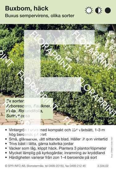 Buxus sempervirens allmän