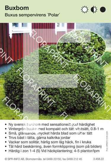 Buxus sempervirens Polar