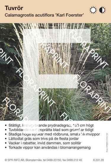 Calamagrostis acutifl Karl Foerster