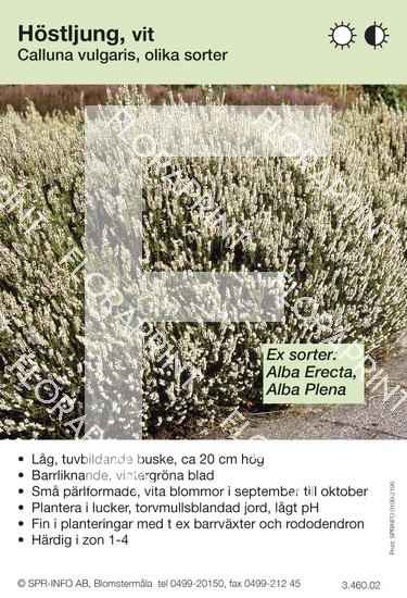 Calluna vulgaris (vit) sorter: