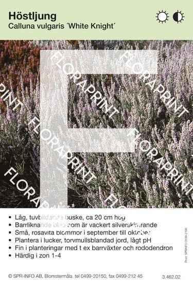 Calluna vulgaris White Knight