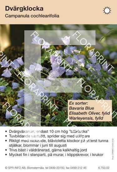 Campanula cochlearifolia (sorter:)