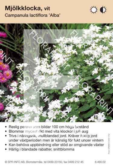 Campanula lactiflora Alba