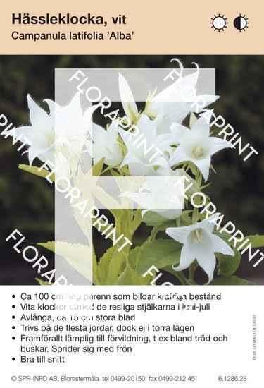 Campanula latifolia Alba