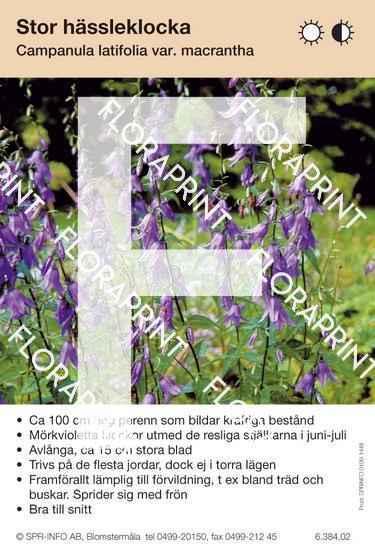 Campanula latifolia macrantha
