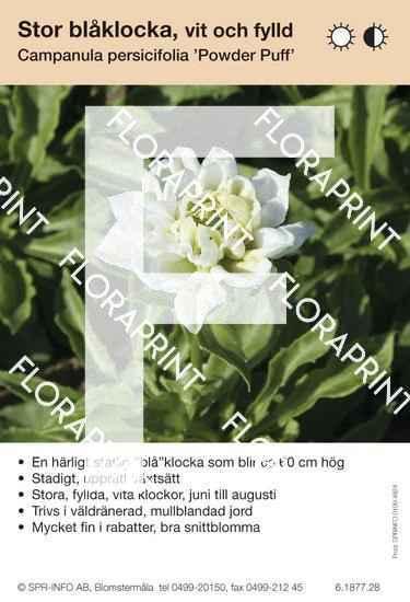 Campanula persicifolia Powder Puff