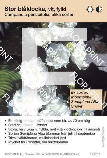 Campanula persicifolia vit fylld (sorter:)