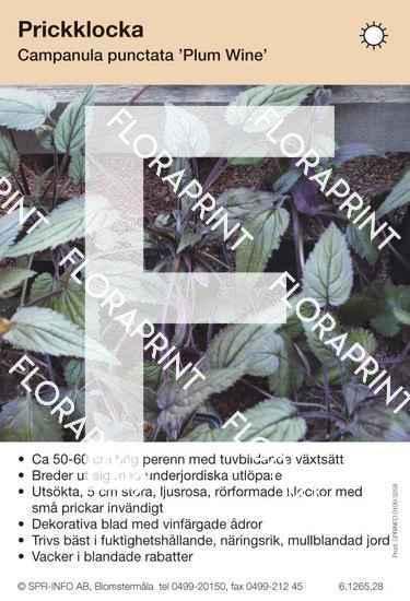 Campanula punctata Plum Wine