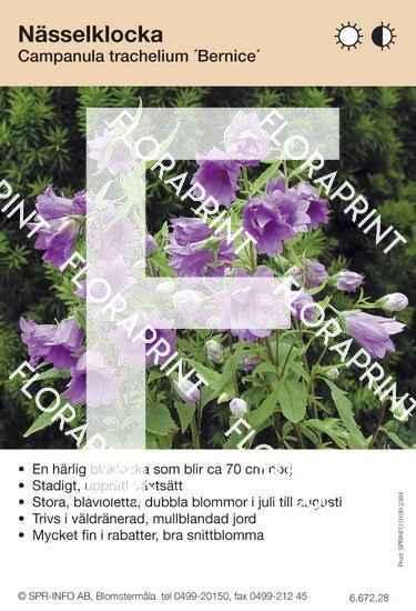 Campanula trachelium Bernice