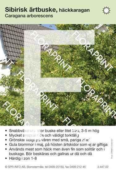 Caragana arborescens (buske)