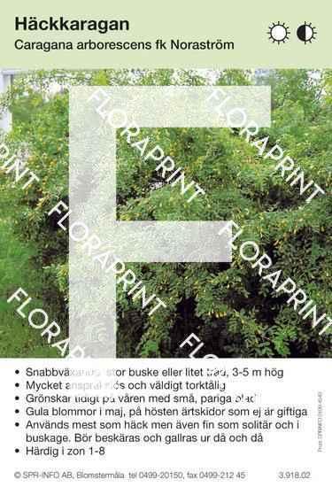 Caragana arborescens fk Noraström