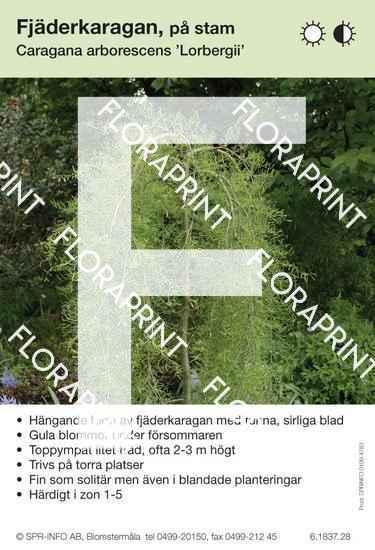 Caragana arborescens Lorbergii
