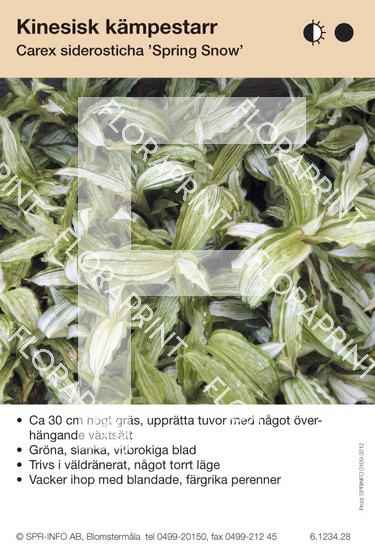 Carex siderosticha Spring Snow