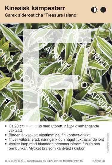 Carex siderosticha Treasure Island