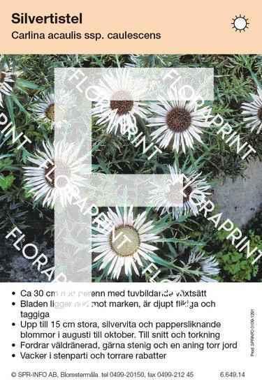 Carlina acaulis ssp caulescens